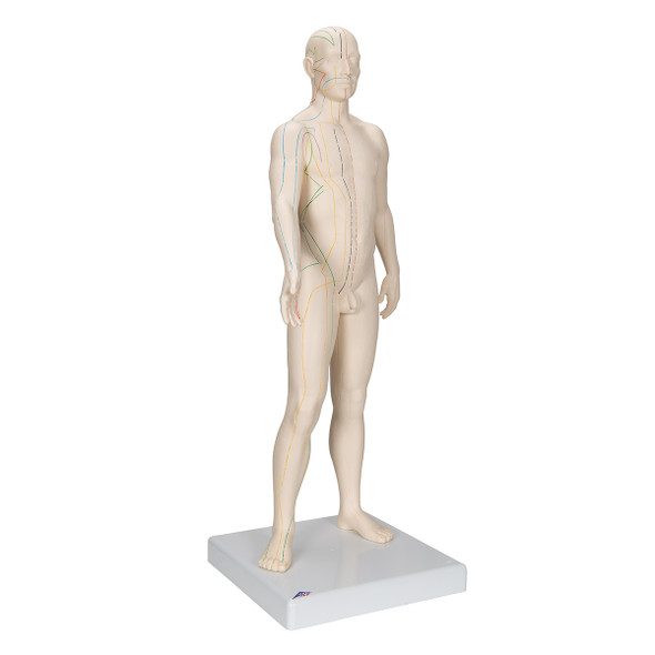 Male Acupuncture Points Anatomy Model side view from left 1