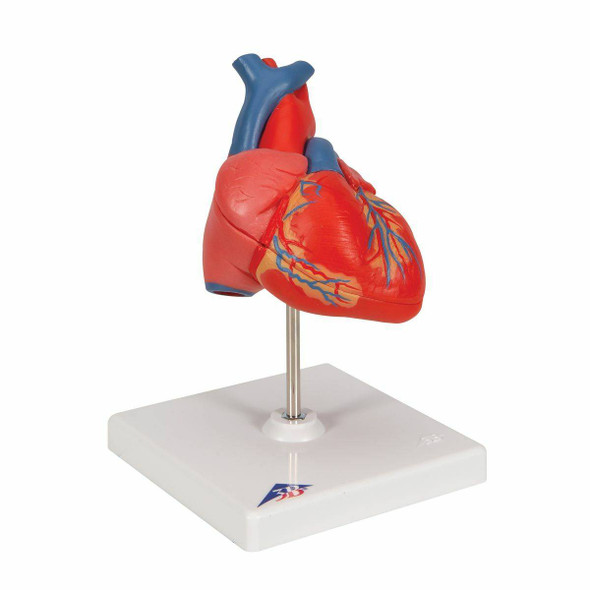 Classic Human Heart Anatomy Model 1