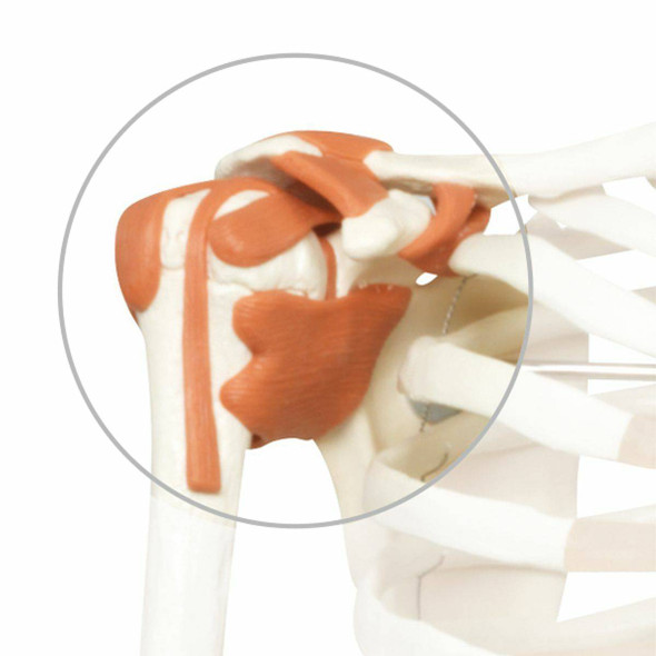 Replacement Shoulder Ligament for 3B Scientific Skeletons
