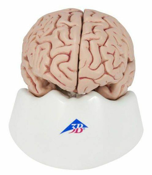 Brain and Ventricle Anatomy Model Set 1