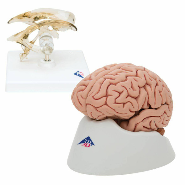 Brain and Ventricle Anatomy Model Set