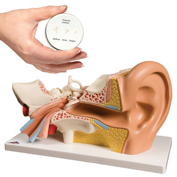 Ear Anatomy Model Set