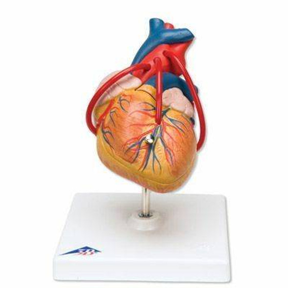 Heart Anatomy Model Set 1