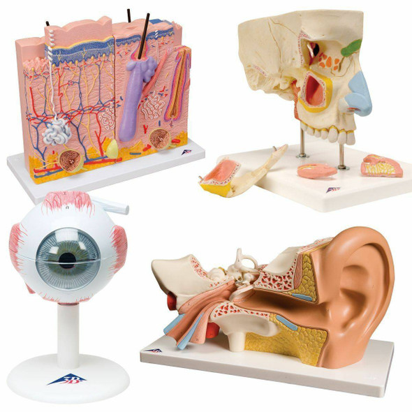 The Senses Anatomy Model Set