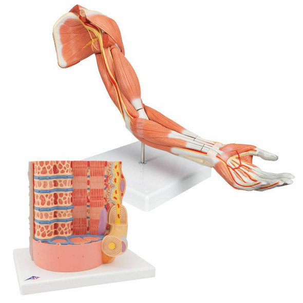Muscle Anatomy Model Set
