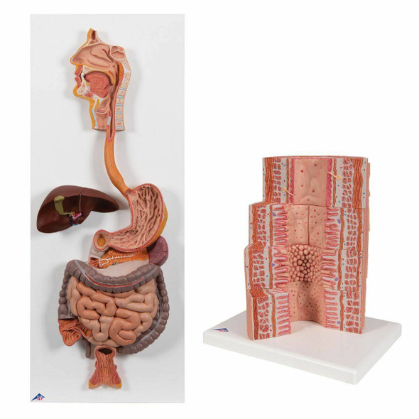 Digestive System Anatomy Model Set