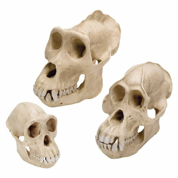 Primates Anatomy Model Set
