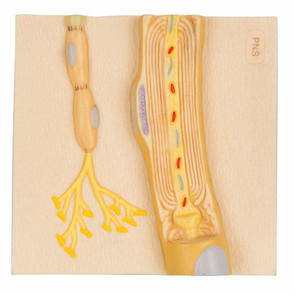 Schwann Cells of the Peripheral Nervous System