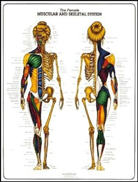 Female Muscular and Skeletal System Laminated Anatomy Chart