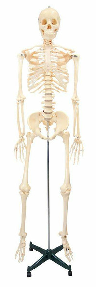First Quality Budget Bucky Skeleton Anatomy Model With Stand