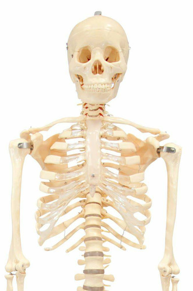 First Quality Budget Bucky Skeleton Anatomy Model With Stand 1
