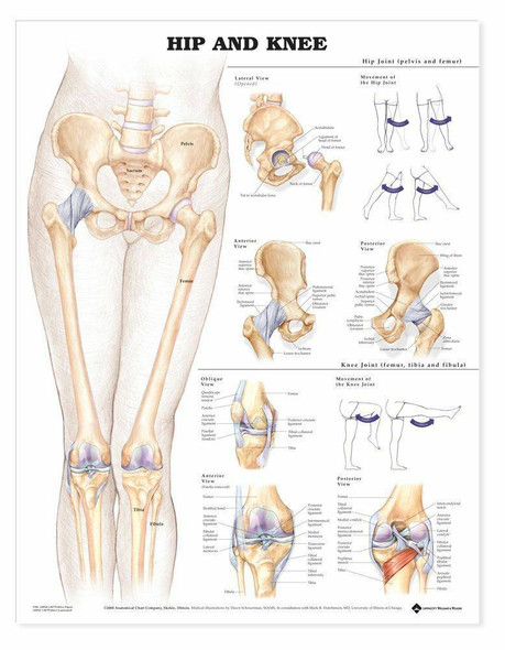 Hip and Knee Laminated Anatomical Chart - 2nd Edition