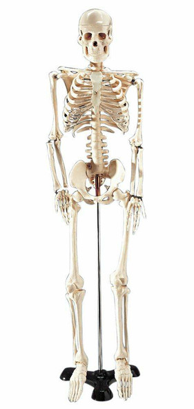 Mr Thrifty Skeleton Anatomy Model