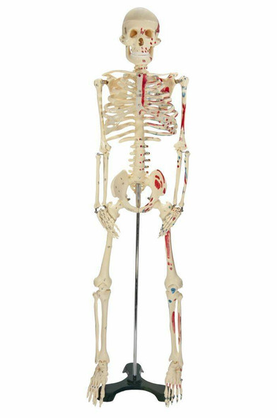 Painted Mr Thrifty Skeleton Anatomy Model