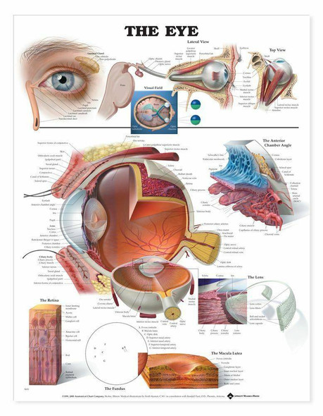 The Eye Laminated Anatomical Chart