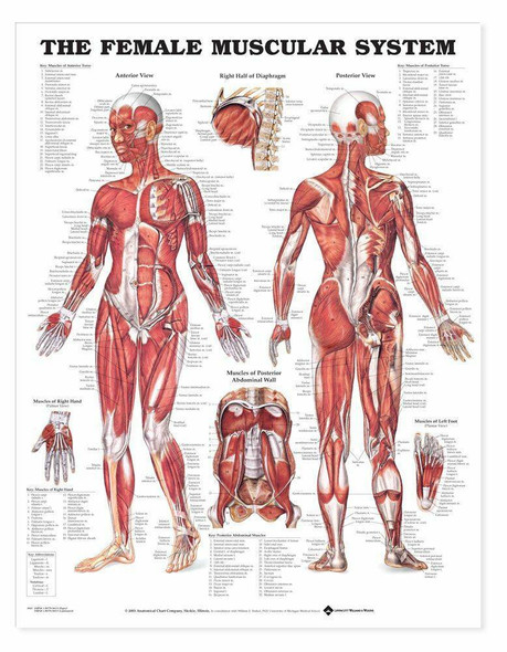 The Female Muscular System Laminated Anatomical Chart
