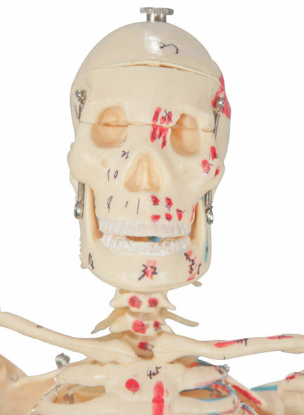 Painted and Numbered Big Tim Skeleton Anatomy Model 1