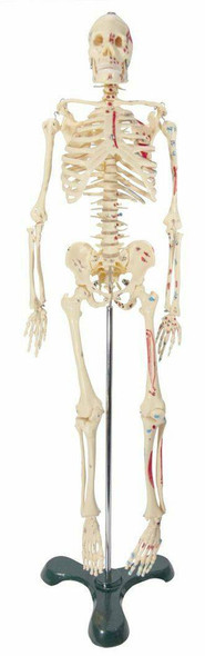 Painted and Numbered Big Tim Skeleton Anatomy Model