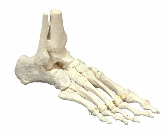 Elastic Foot Anatomy Model