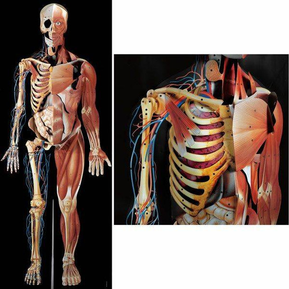 Dimensional Man Raised Relief Anatomical Chart 1