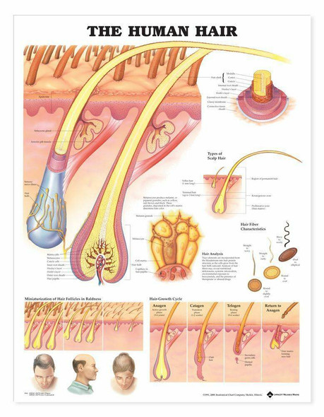 The Human Hair Laminated Anatomical Chart