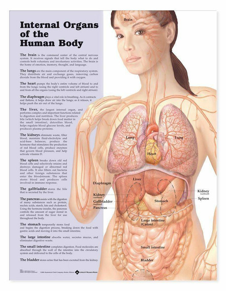 Internal Organs Of The Human Body Laminated Anatomical Chart
