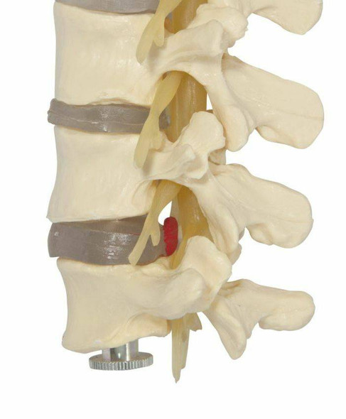 Budget Lumbar Vertebrae Anatomy Model 4 Parts 1