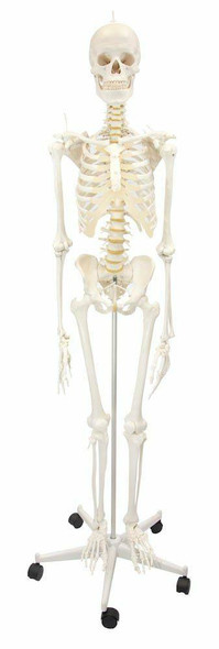 Flexible Physiotherapy Skeleton Anatomy Model 1