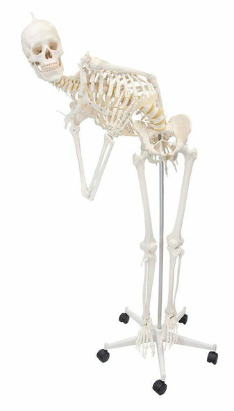Flexible Physiotherapy Skeleton Anatomy Model