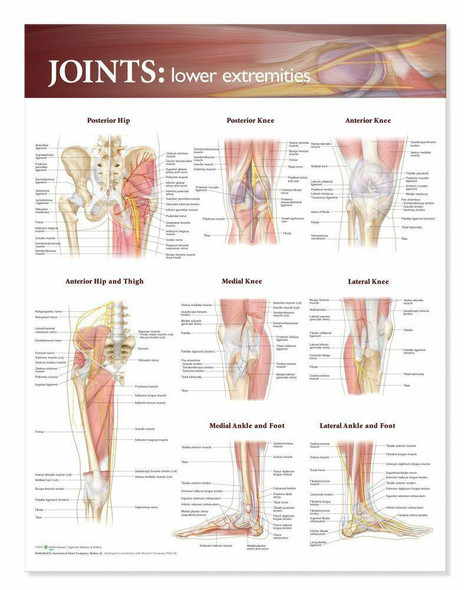 Joints Of The Lower Extremities Laminated Anatomical Chart