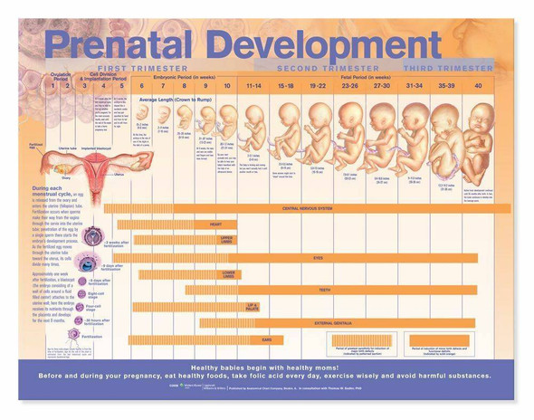 Prenatal Development Laminated Anatomical Chart