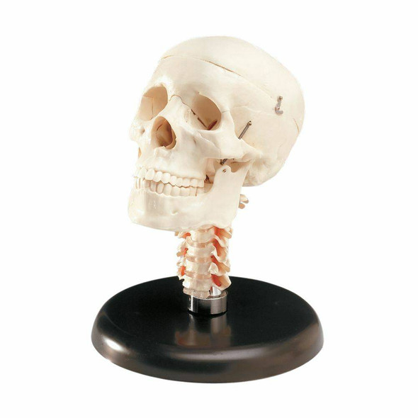 Budget Skull With Cervical Vertebrae Anatomy Model