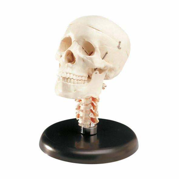 Budget Skull With Cervical Vertebrae Anatomy Model