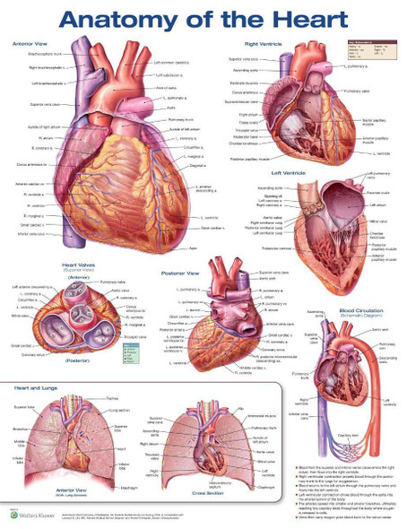 Anatomy Of The Heart Laminated Anatomical Chart - 3rd Edition