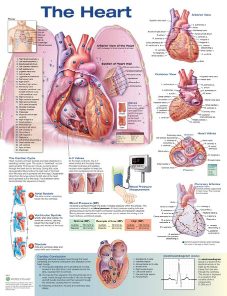 The Heart Laminated Anatomical Chart - 2nd Edition