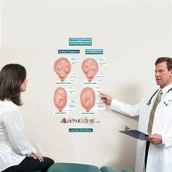 Multiple Pregnancy and Fetal Positions Labeled Anatomy Dry-Erase Sticky Wall Chart - 27 in x 40 in