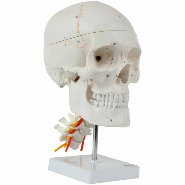Axis Scientific 3 Part Human Skull and Cervical Vertebrae with 8 Part Brain 1