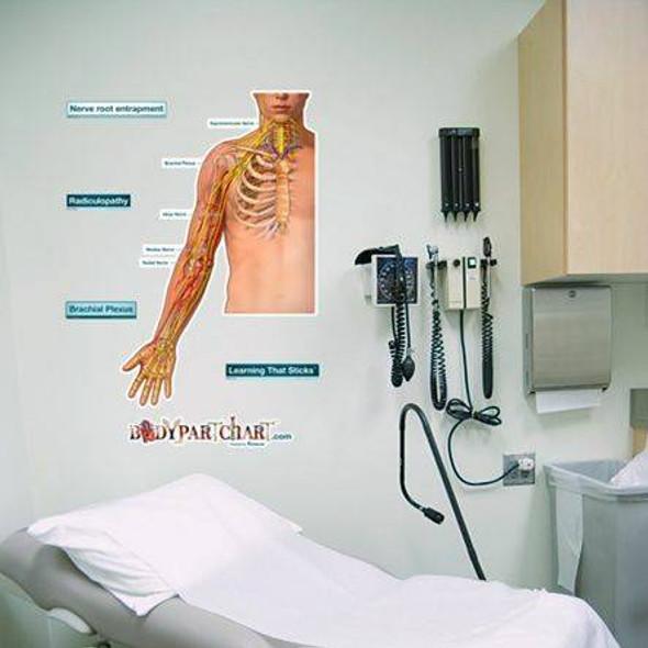 Brachial Plexus Anatomy Dry-Erase Sticky Wall Chart - 27 in x 40 in