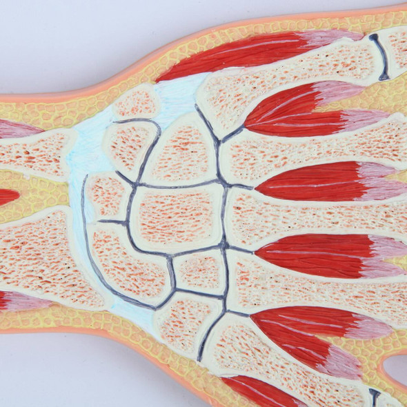 Axis Scientific Hand and Wrist Joint Section Anatomy Model 1