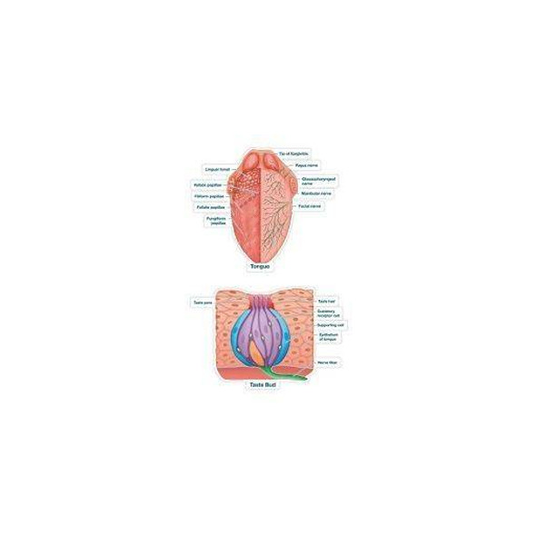 Taste Buds Labeled Anatomy Dry-Erase Sticky Wall Chart - 27 in x 40 in
