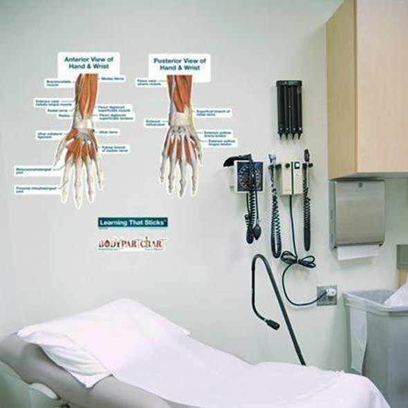 Hand and Wrist Labeled Anatomy Dry-Erase Sticky Wall Chart - 24 in x 30 in
