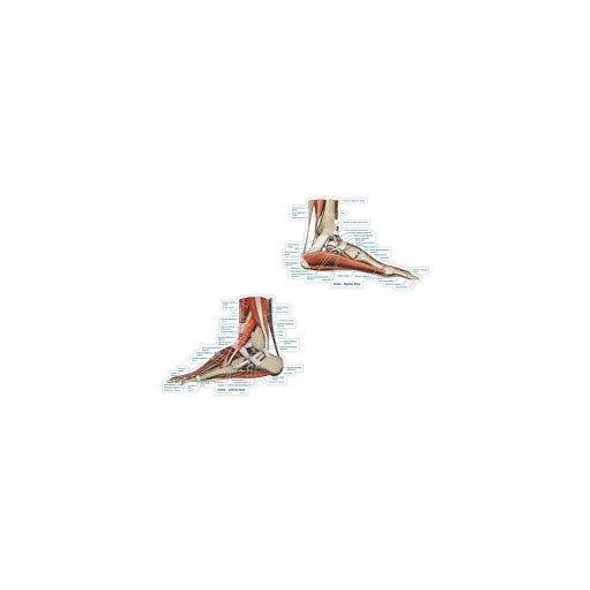 Ankle Series Labeled Anatomy Dry-Erase Sticky Wall Chart