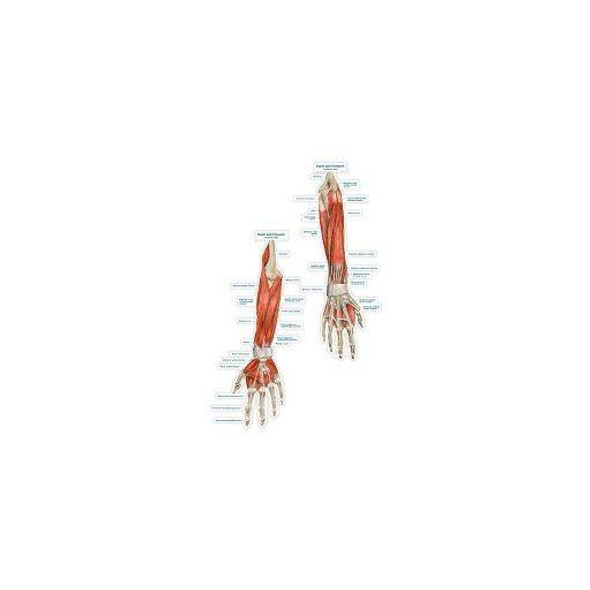 Hand and Forearm Labeled Anatomy Dry-Erase Sticky Wall Chart