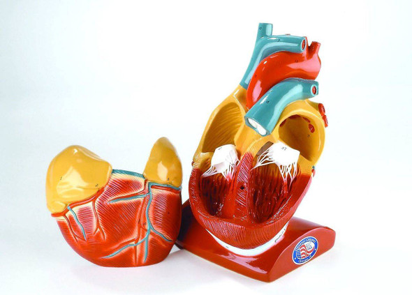 Giant Heart Anatomy Model With Pericardium and Diaphragm 1