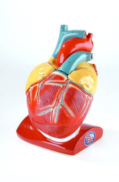 Giant Heart Anatomy Model With Pericardium and Diaphragm