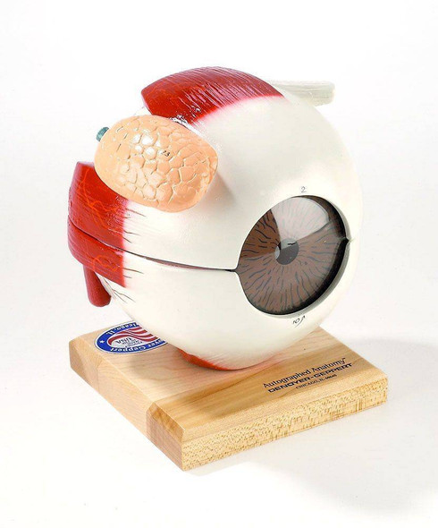 Giant Five Parts Eyeball Anatomy Model