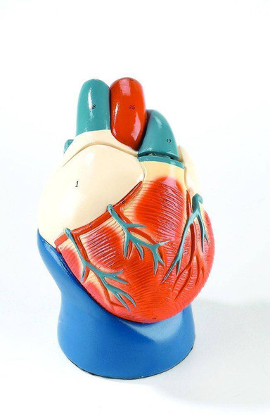 Nonbreakable Life-Size Heart Anatomy Model