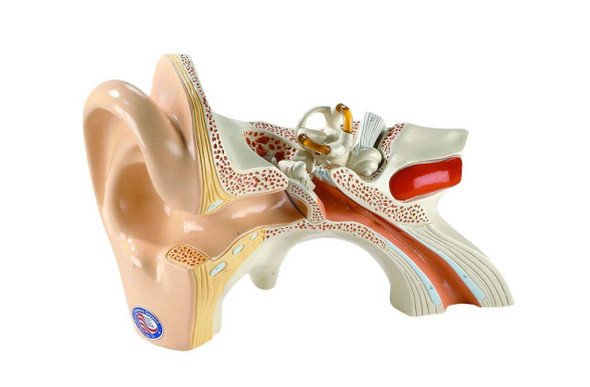 Giant Three Part Ear Anatomy Model