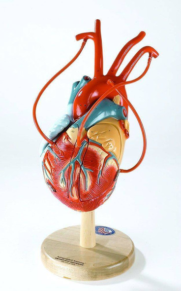 Heart Of America Plus Anatomy Model With Coronary Bypasses
