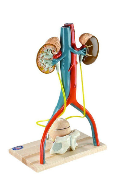 Free Standing Urinary System Anatomy Model